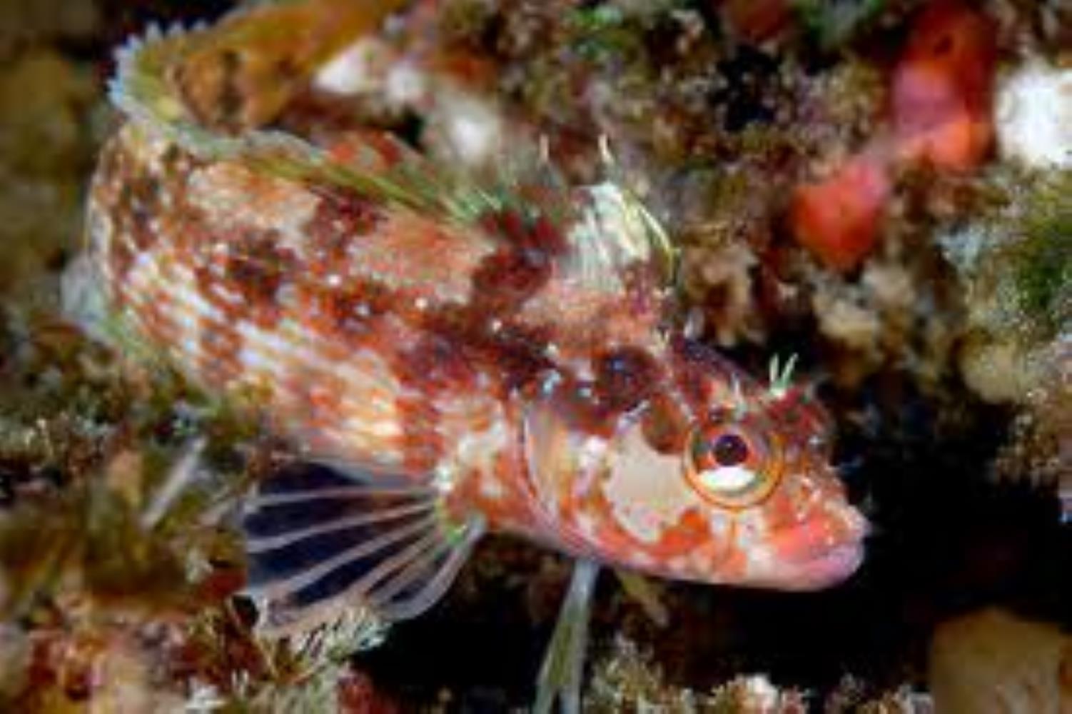 Island Kelpfish