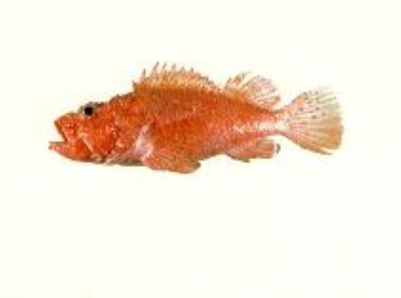 Izu Scorpionfish