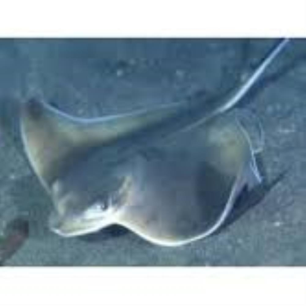 Japanese Eagle Ray