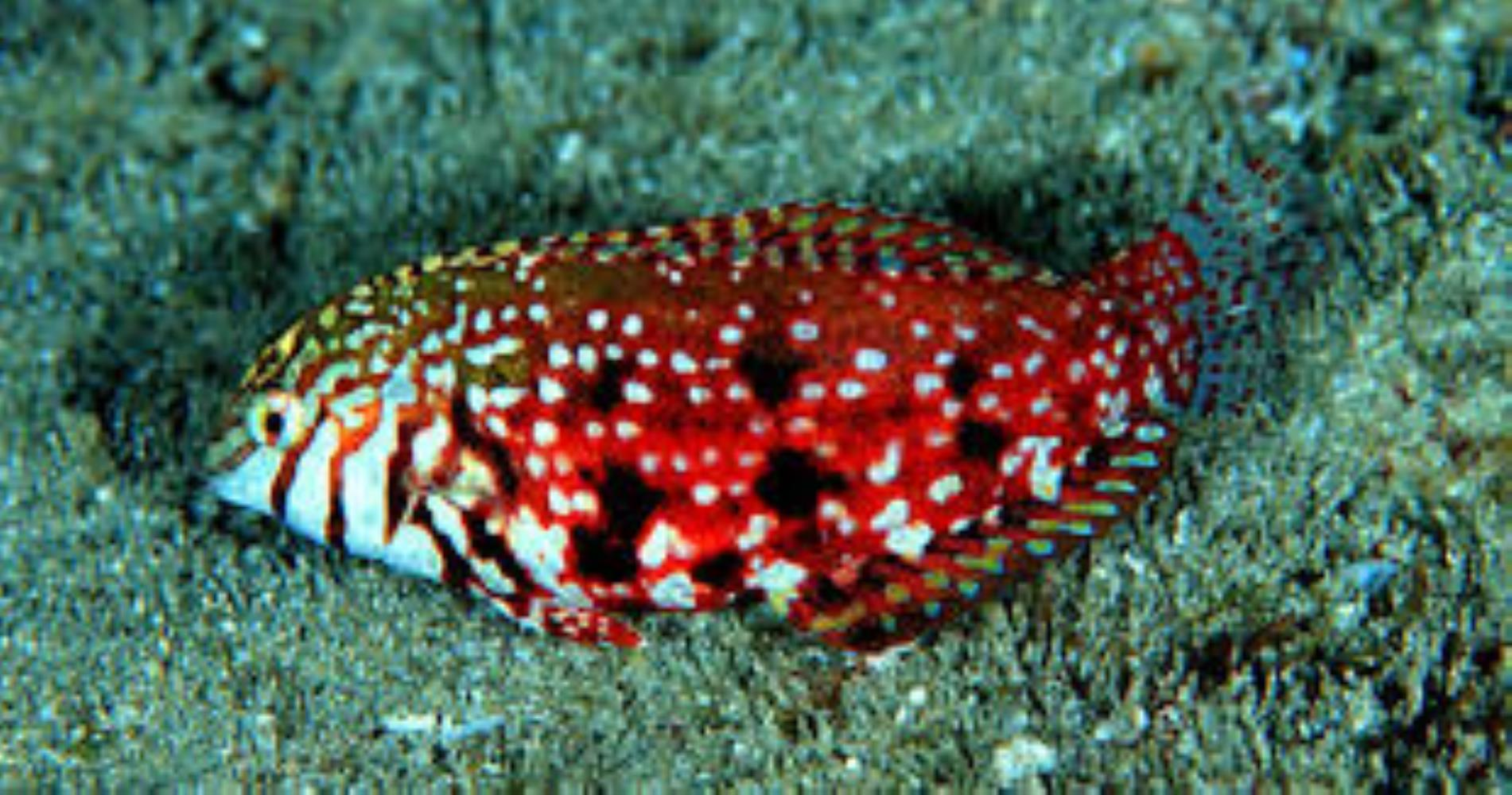 Jewelled Wrasse