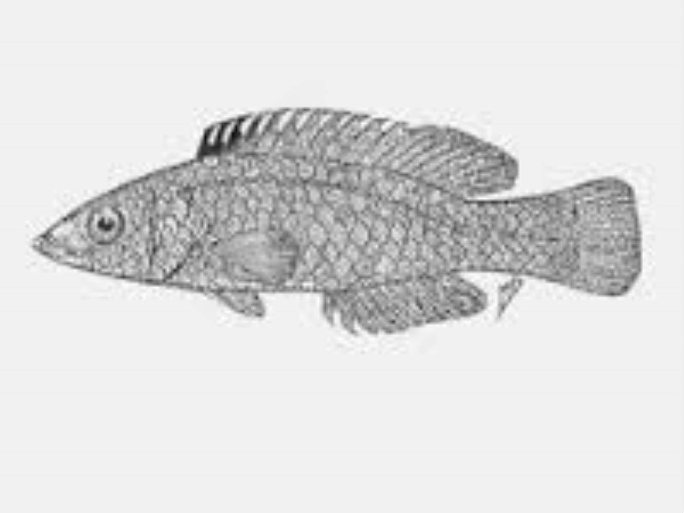 Largescale Wrasse