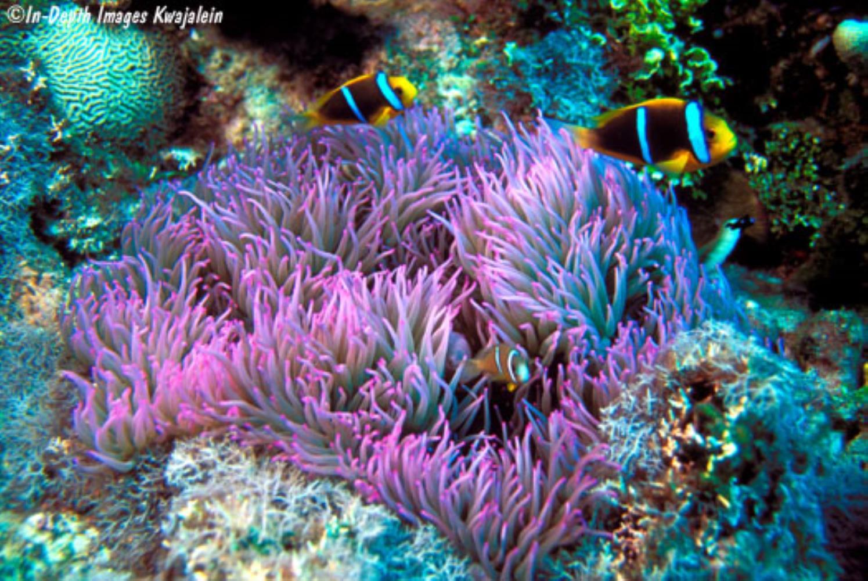 Leathery Sea Anemone
