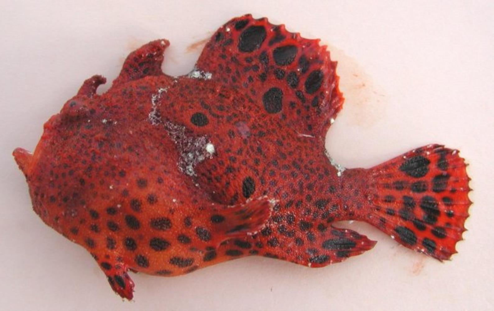 Leopard Frogfish