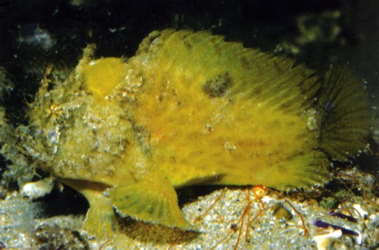 Long-spined anglerfish