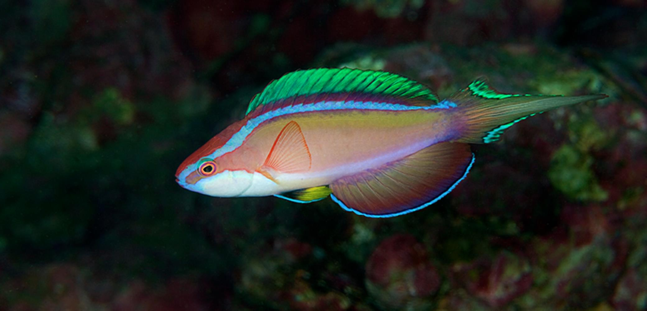 Long-tailed Wrasse
