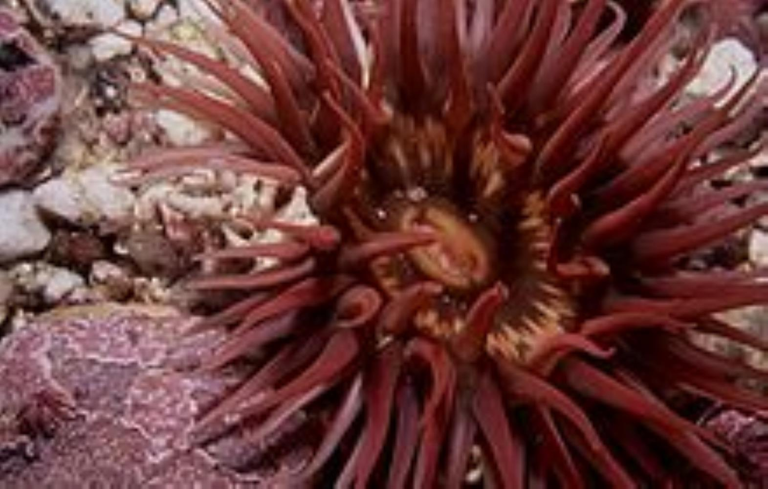 Long-tentacled/Crevice Anemone