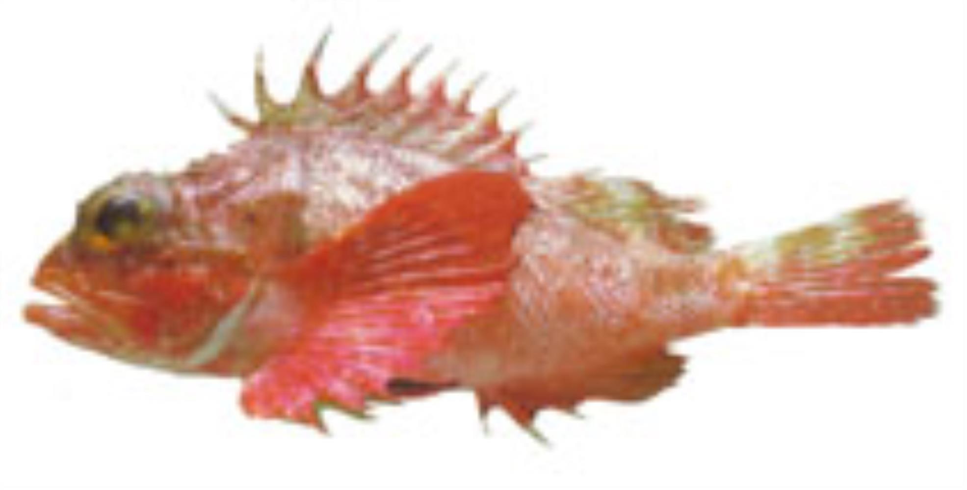 Longfin Scorpionfish