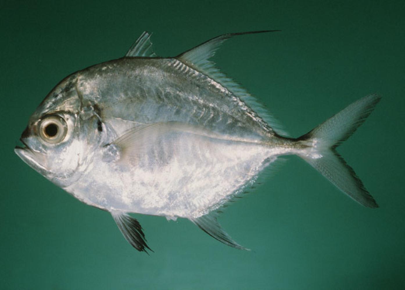 Longfin trevally