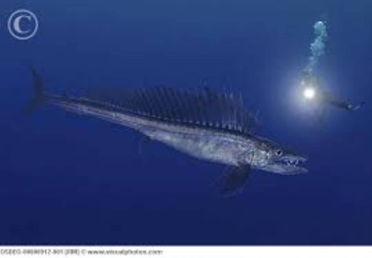 Longnose Lancetfish