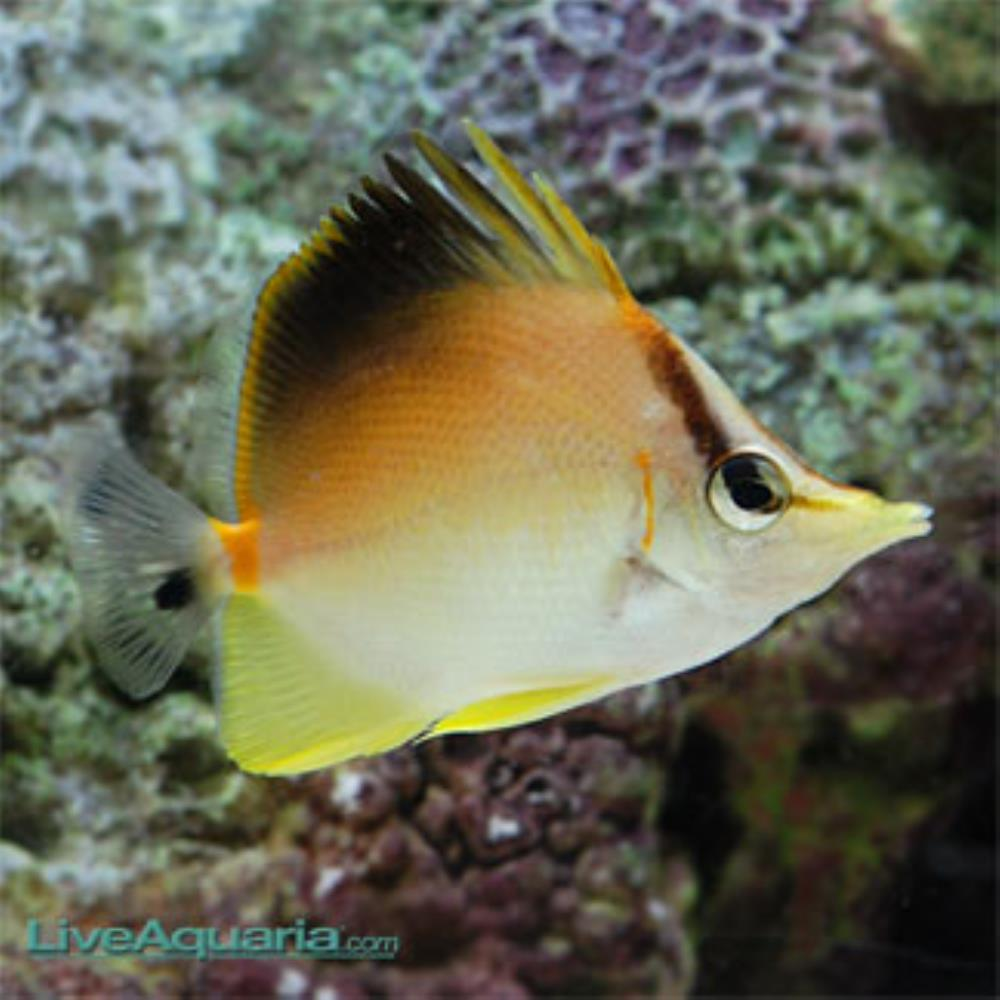 Longsnout Butterflyfish