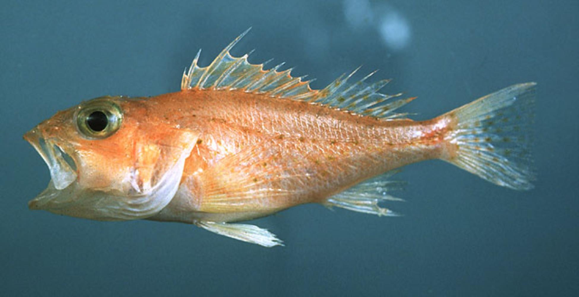Longspine Scorpionfish