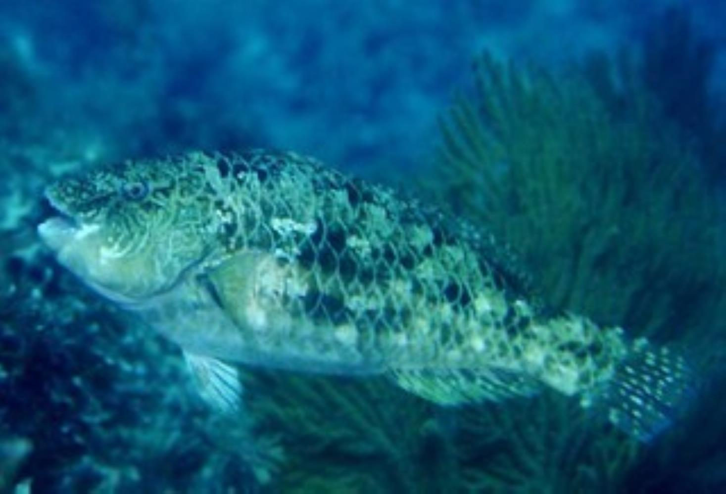 Loosetooth Parrotfish