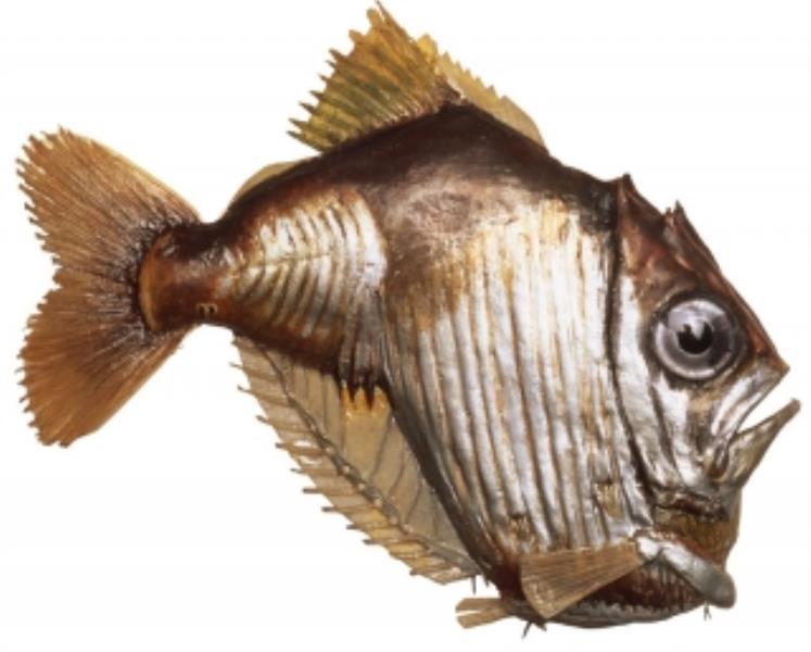 Lovely Hatchetfish
