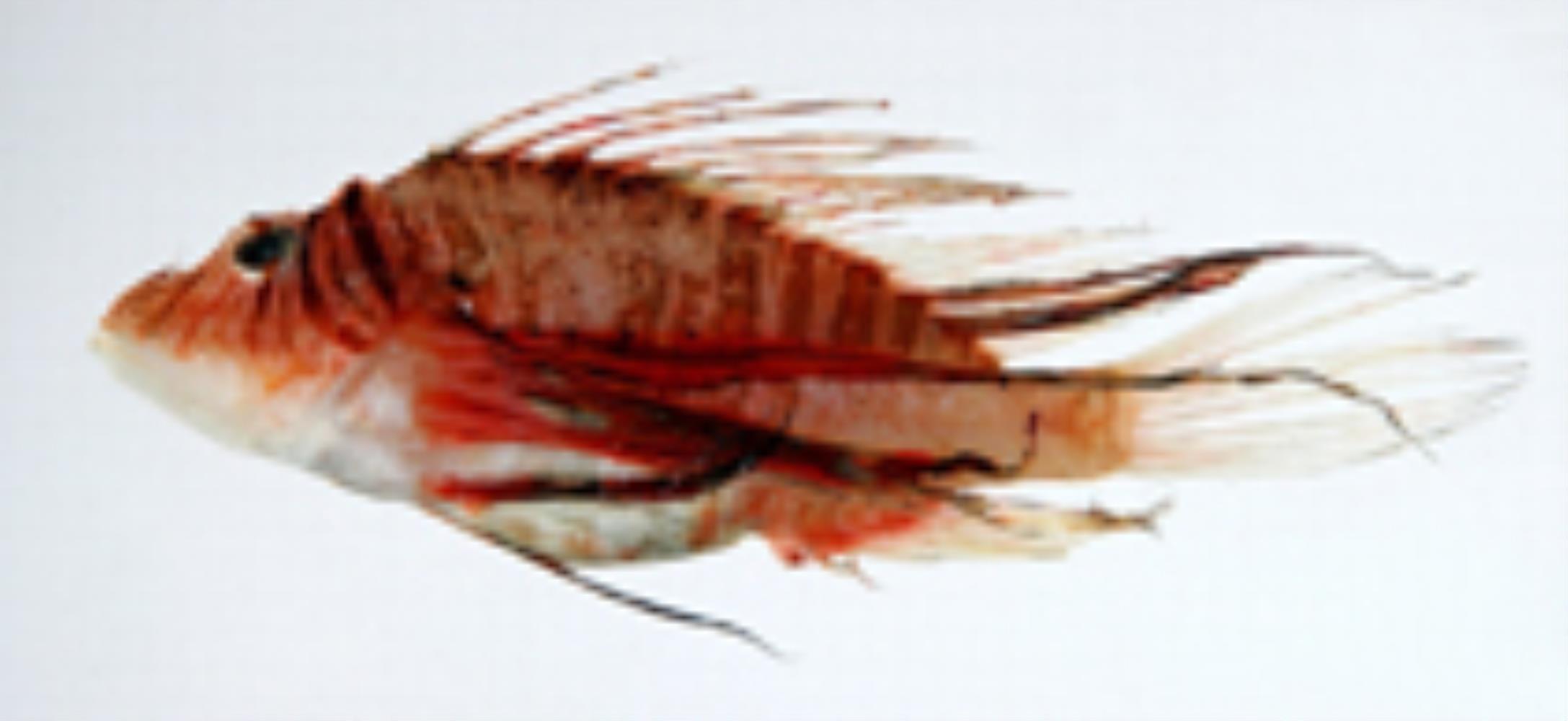 Luna Lionfish