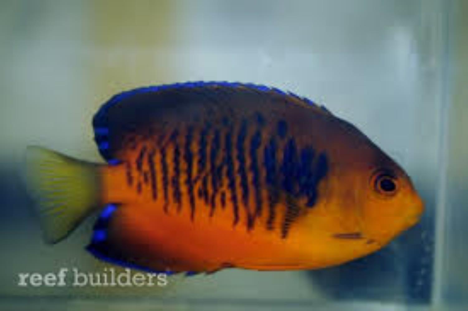 Mango Angelfish