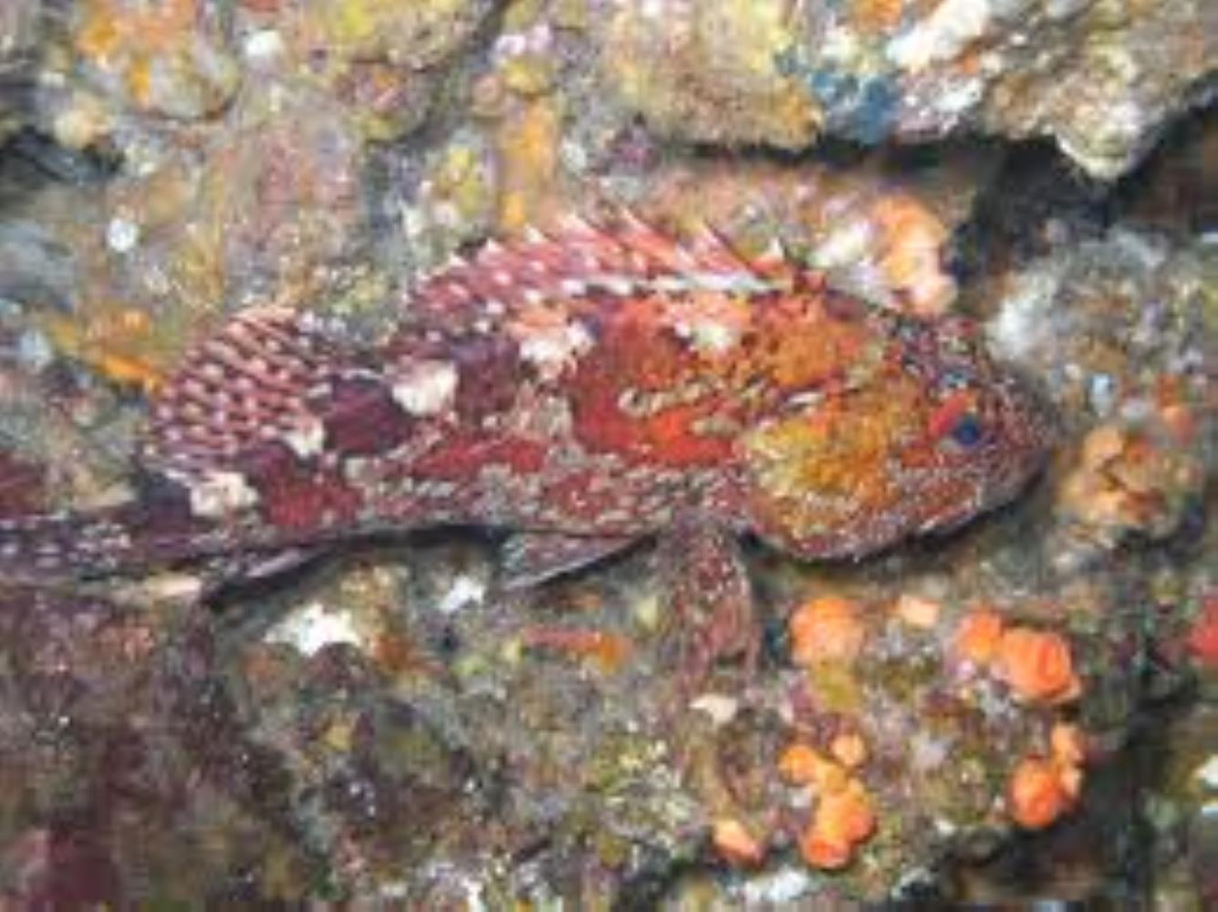 Marbled Rockfish/False Kelpfish