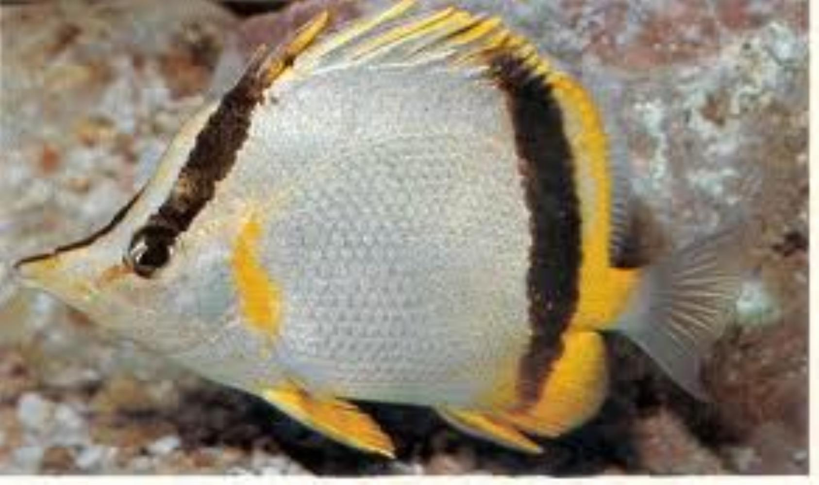 Marcella Butterflyfish