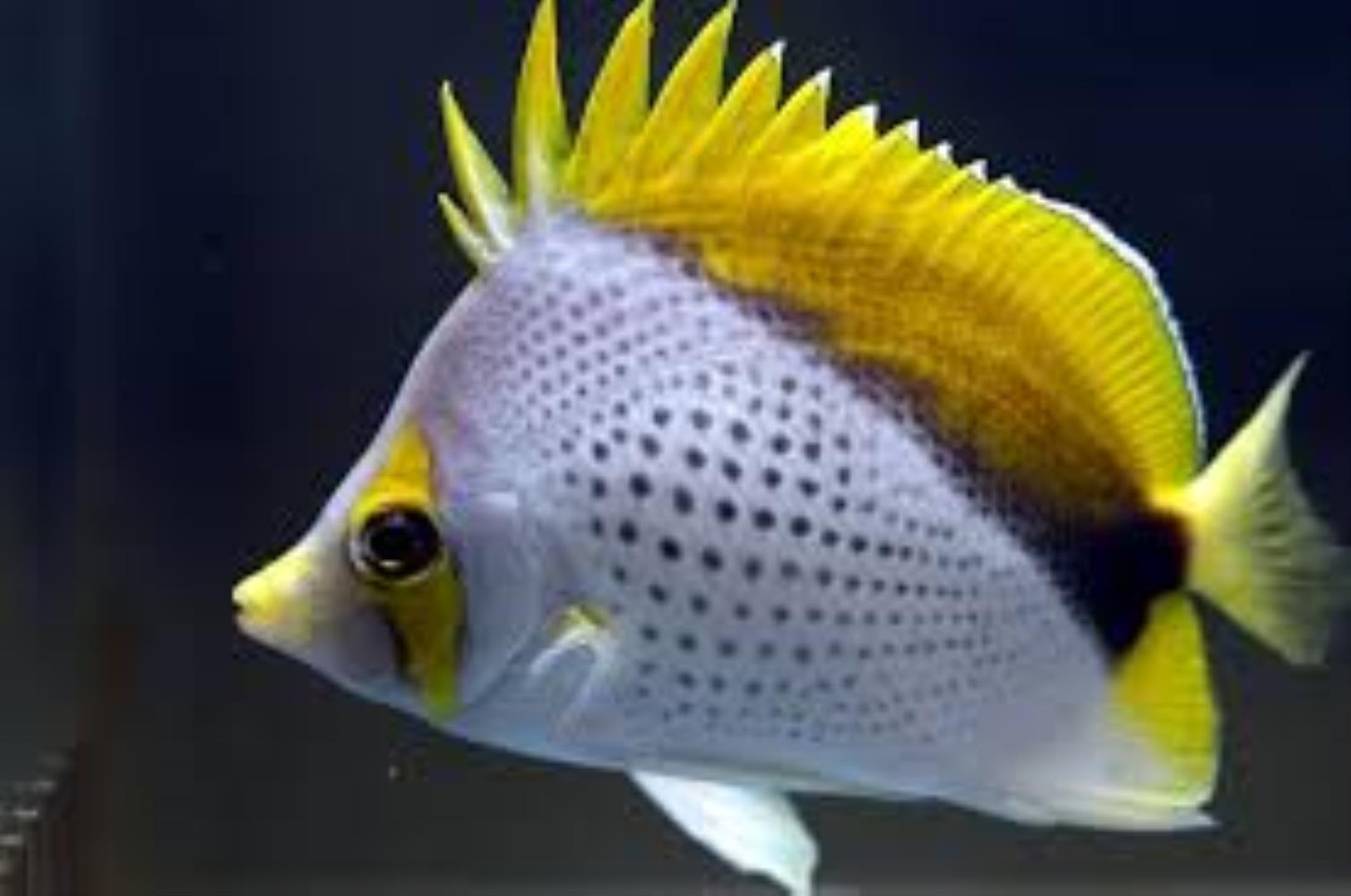 Marquesas Butterflyfish