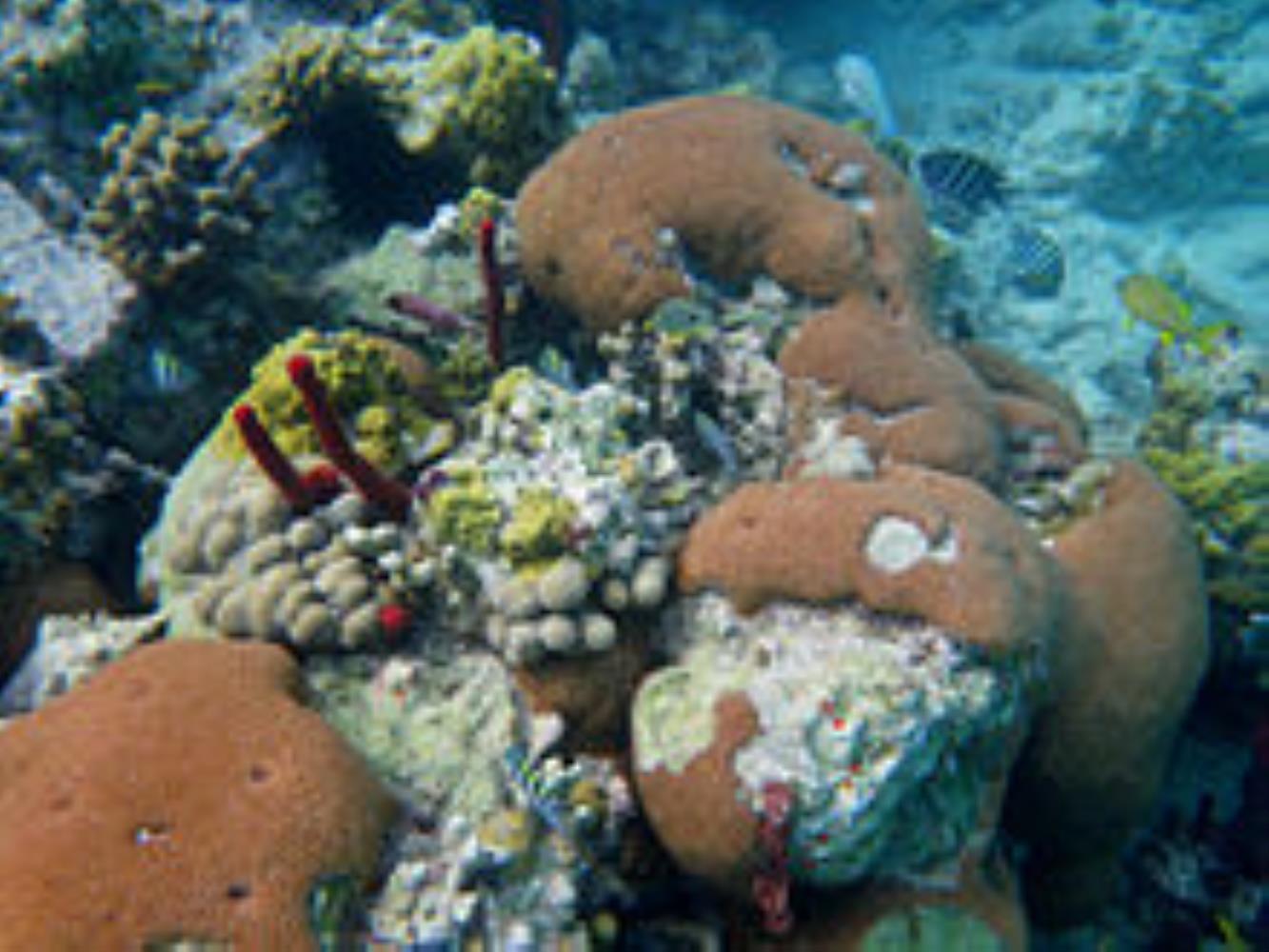 Massive Starlet Coral