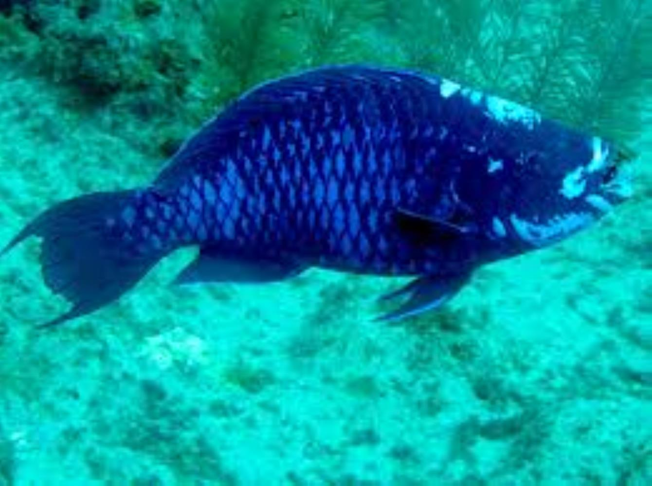 Midnight Parrotfish