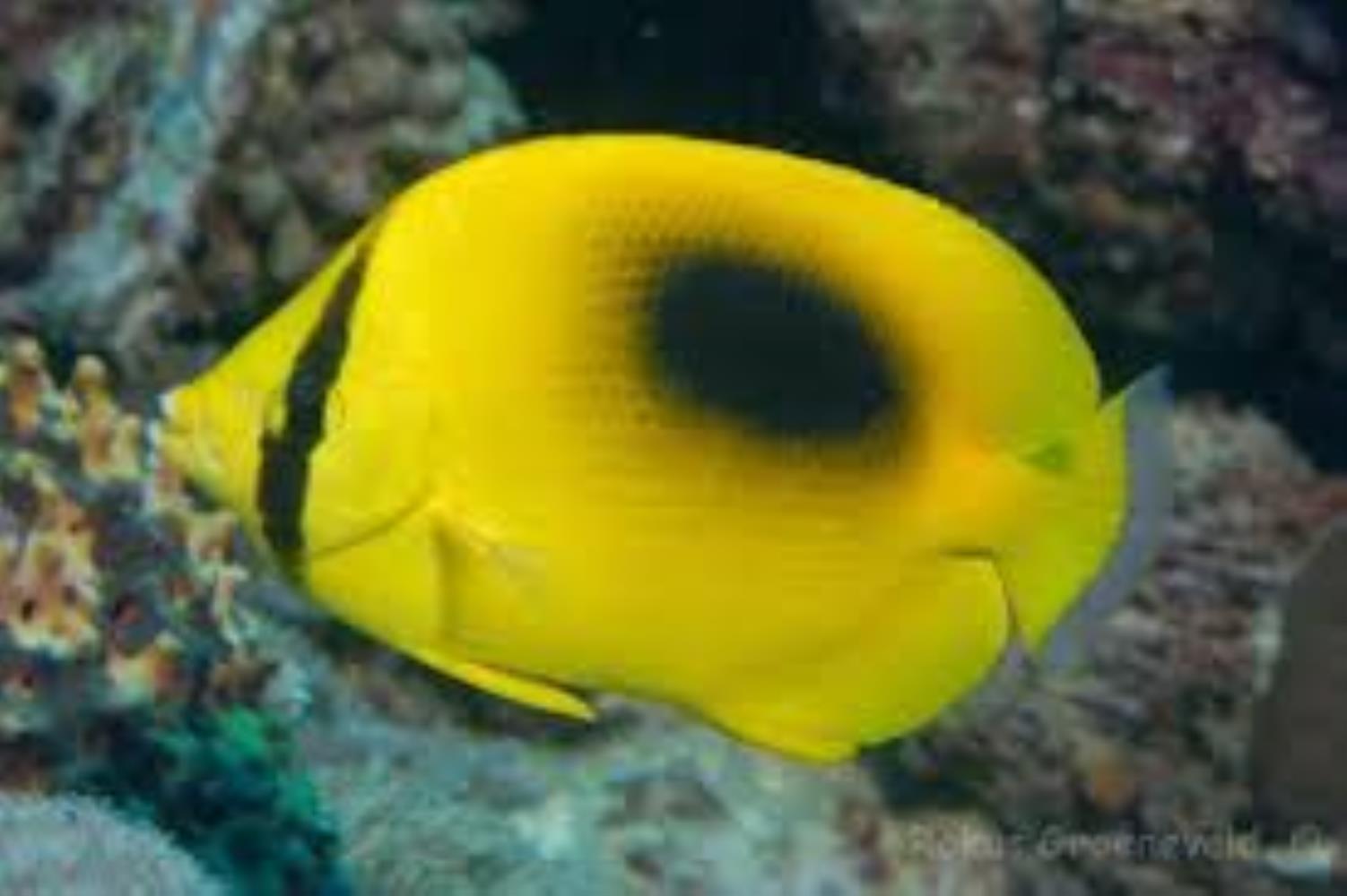 Mirror Butterflyfish