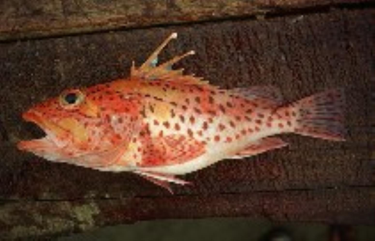 Mottled Scorpionfish
