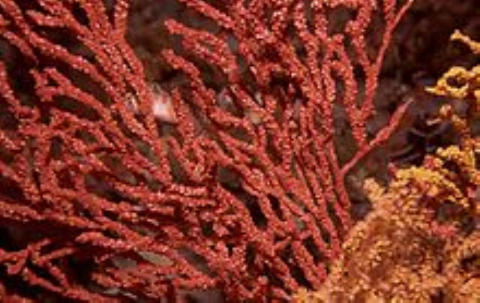 Multicoloured sea fan