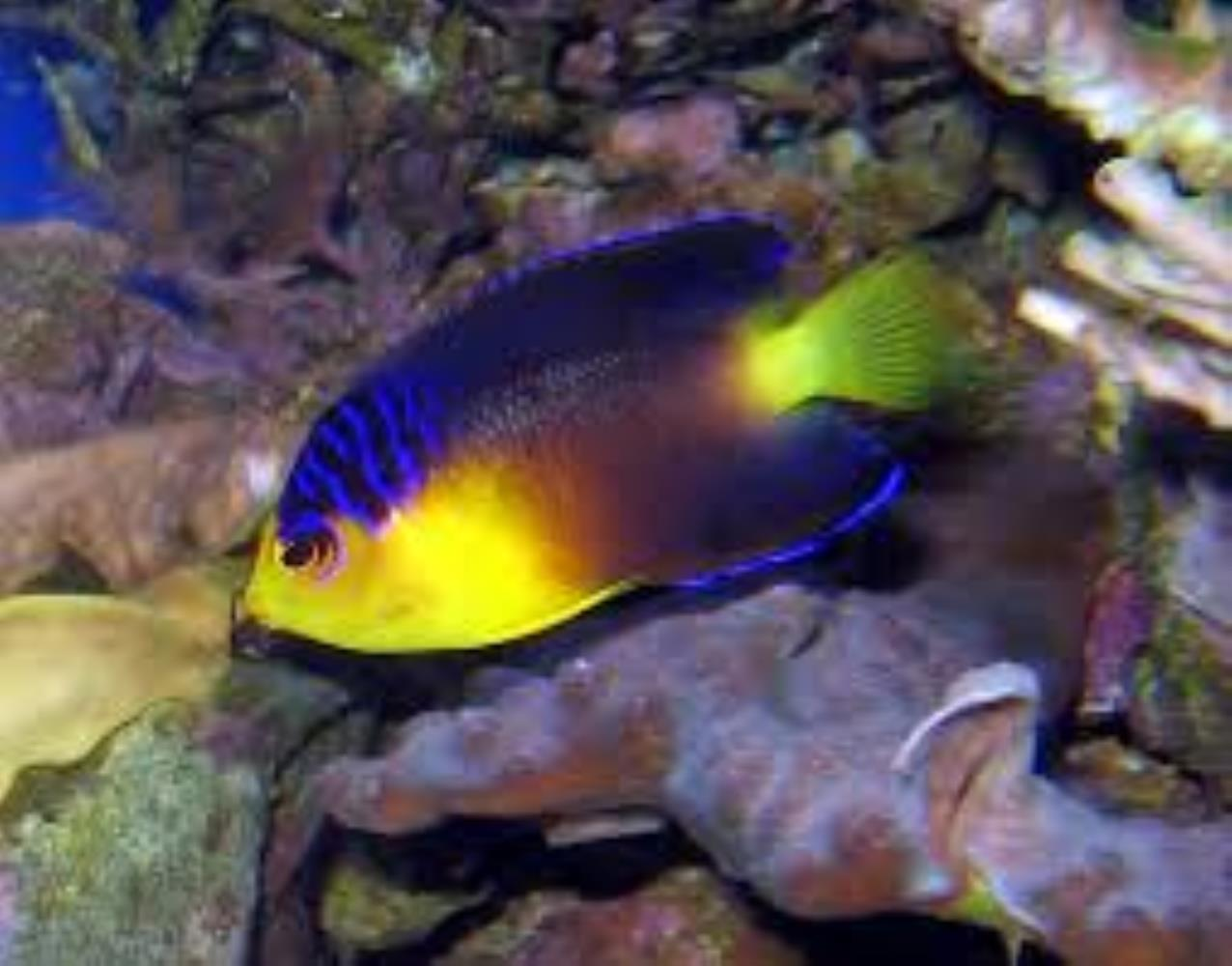 Nahacky's Angelfish