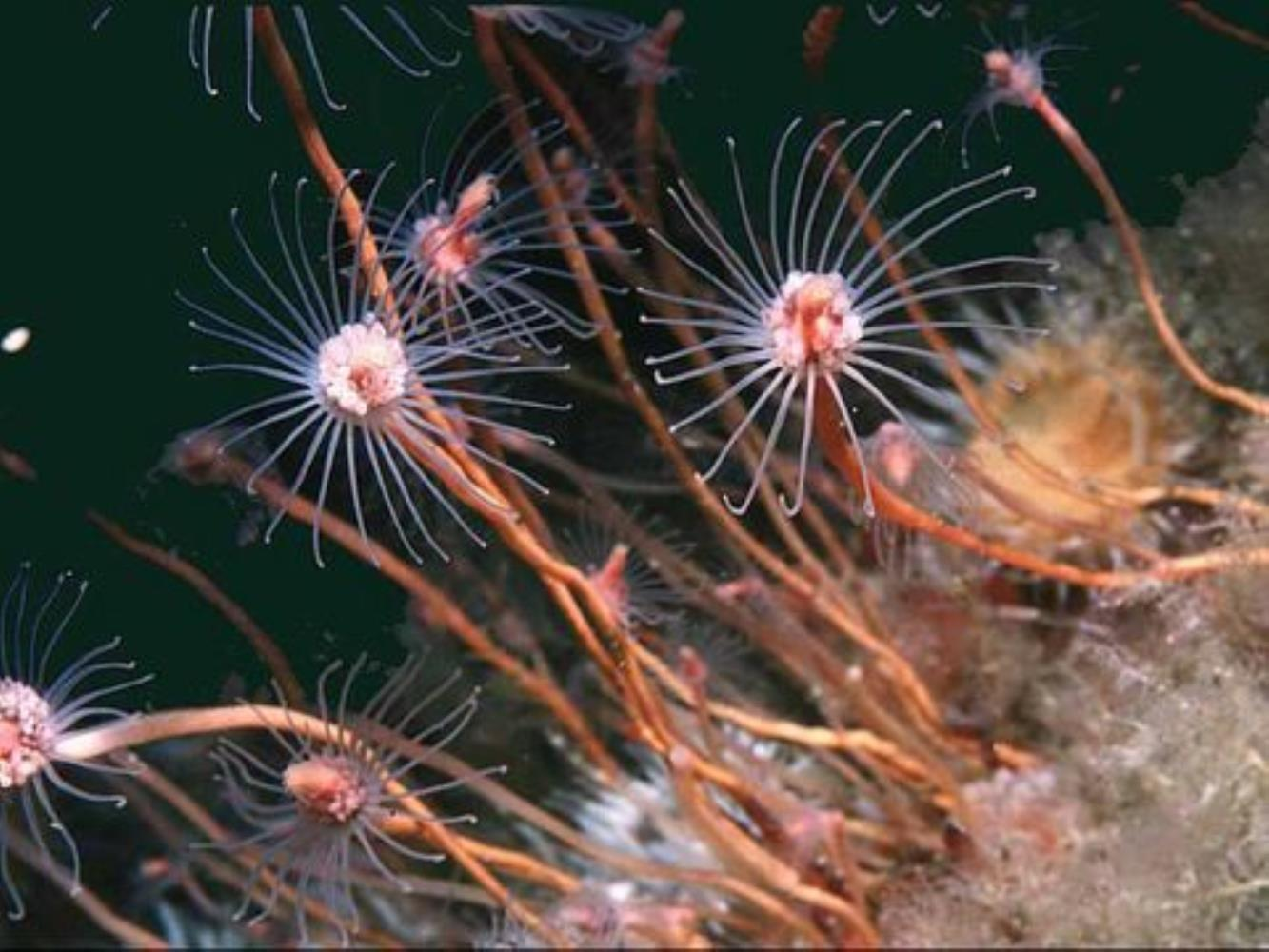 Oaten Pipe Hydroid