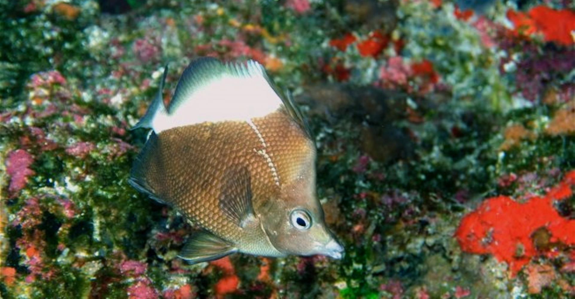 Oblique Butterflyfish