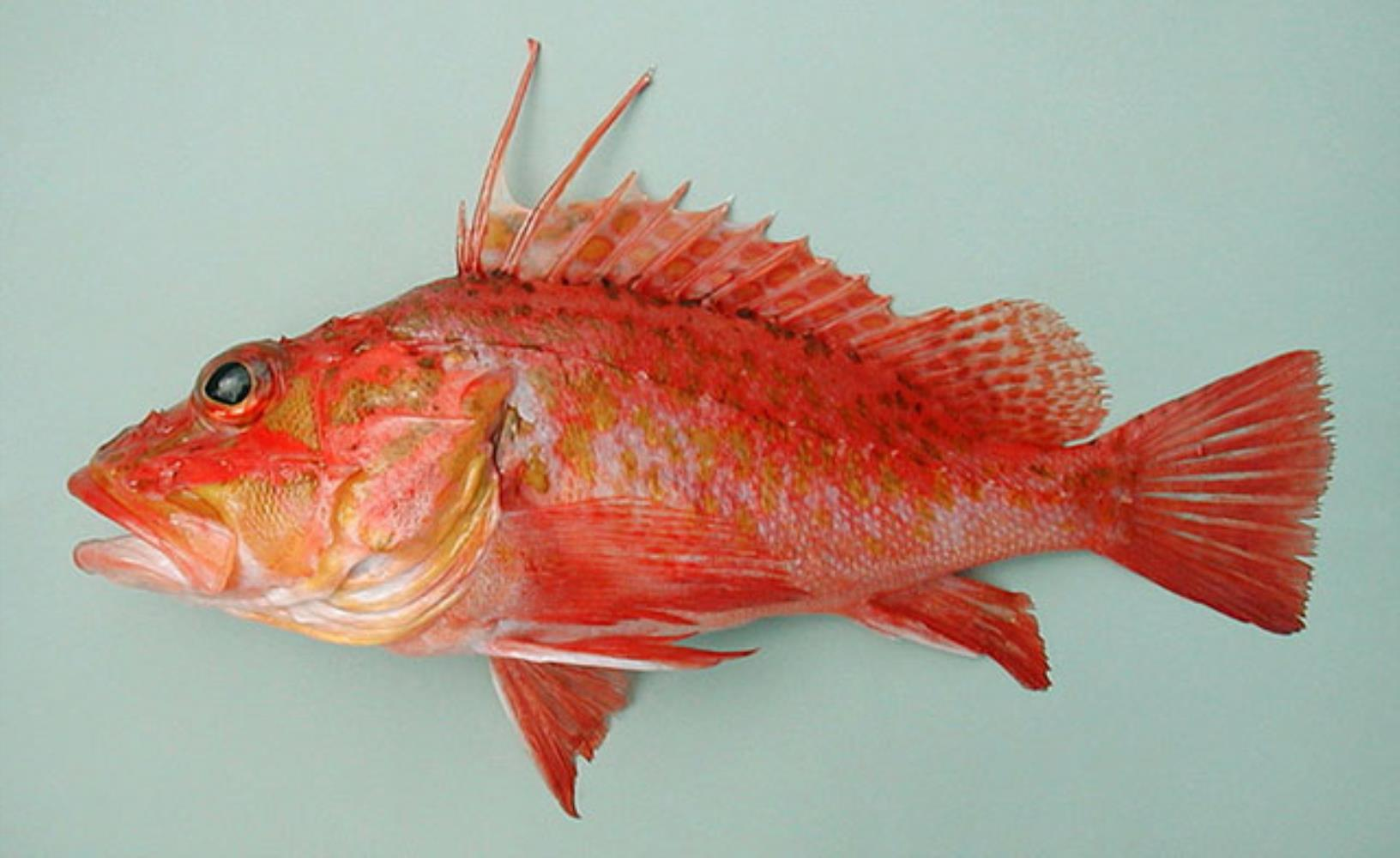 Offshore Rockfish