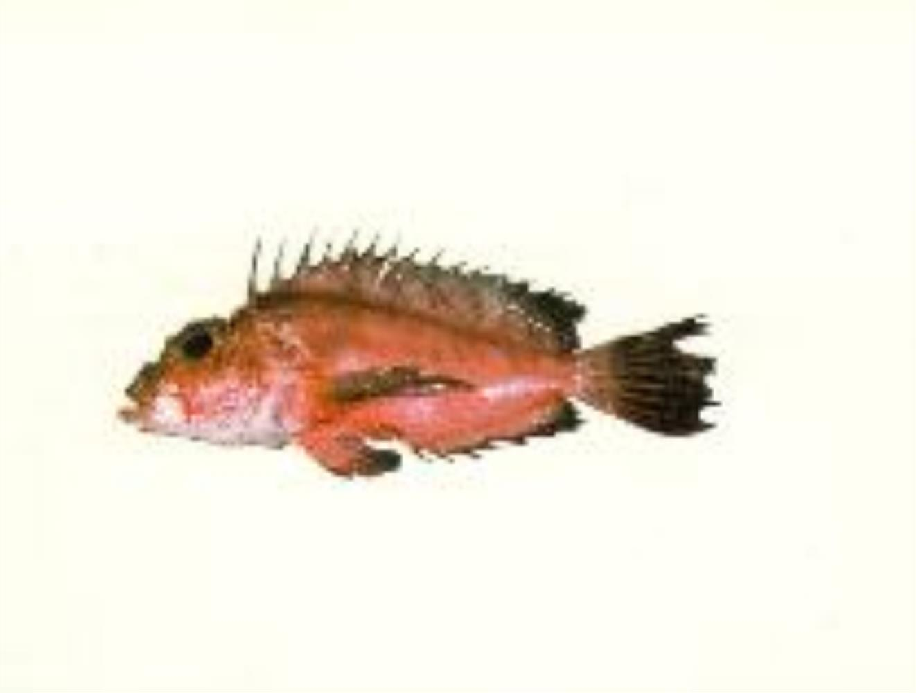 Onestick Stingfish