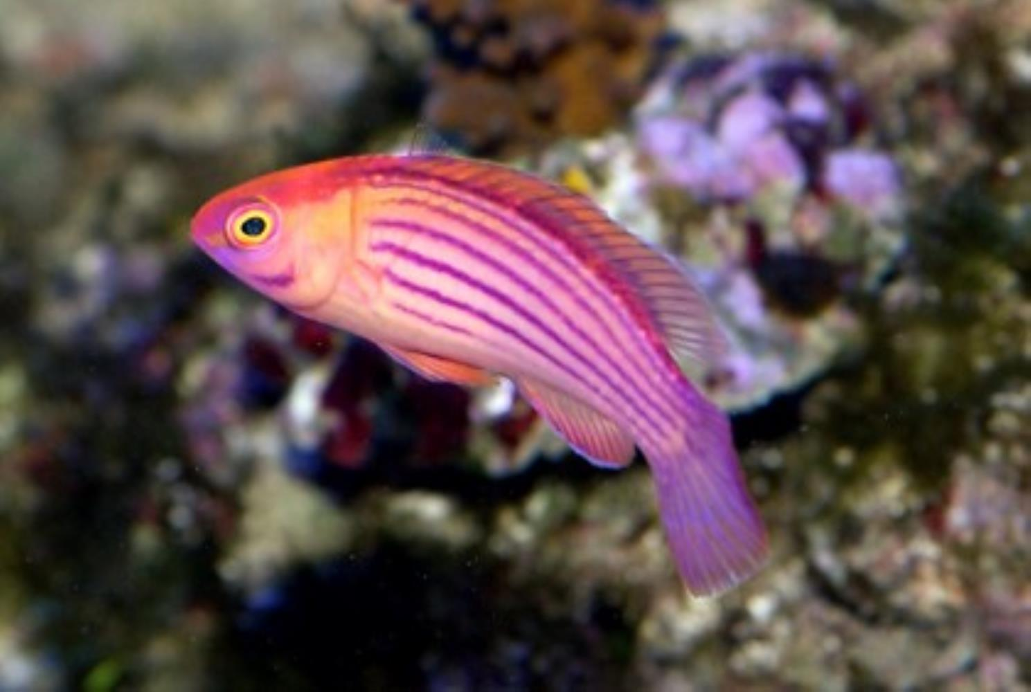 Orange-striped Wrasse