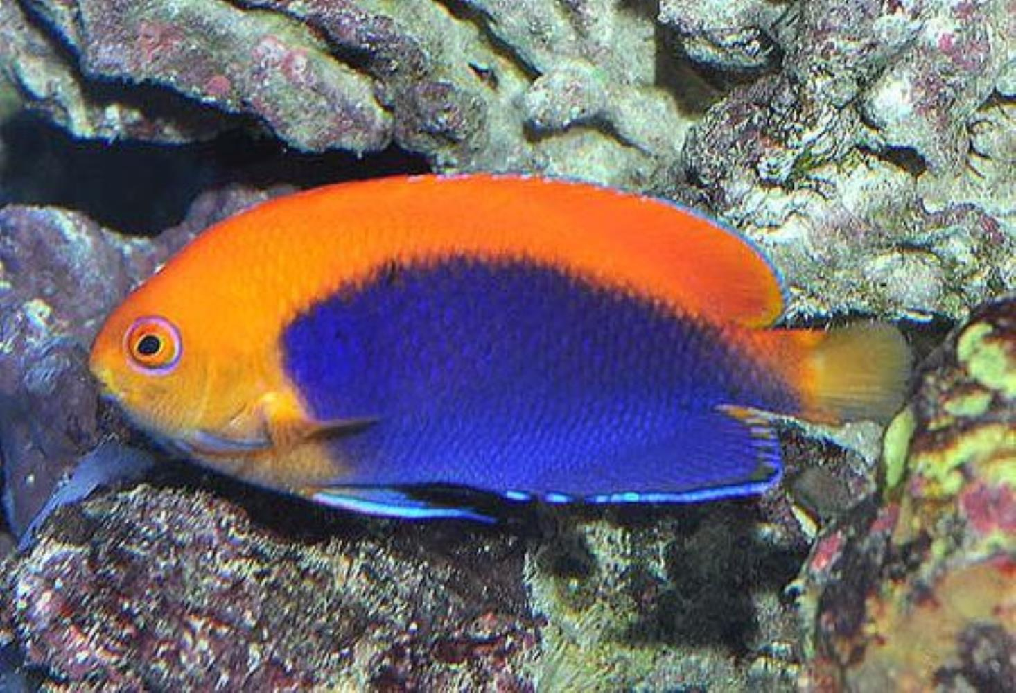 Orangeback Angelfish