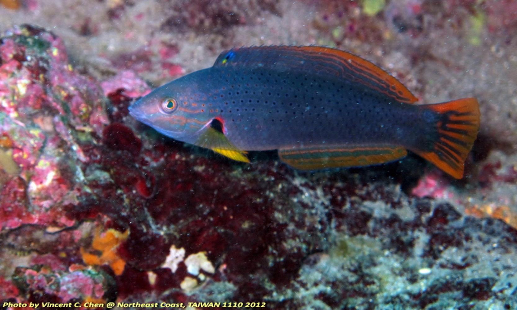 Orangefin Wrasse
