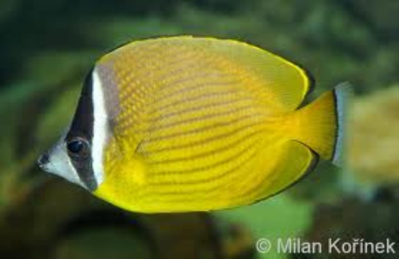 Oriental Butterflyfish