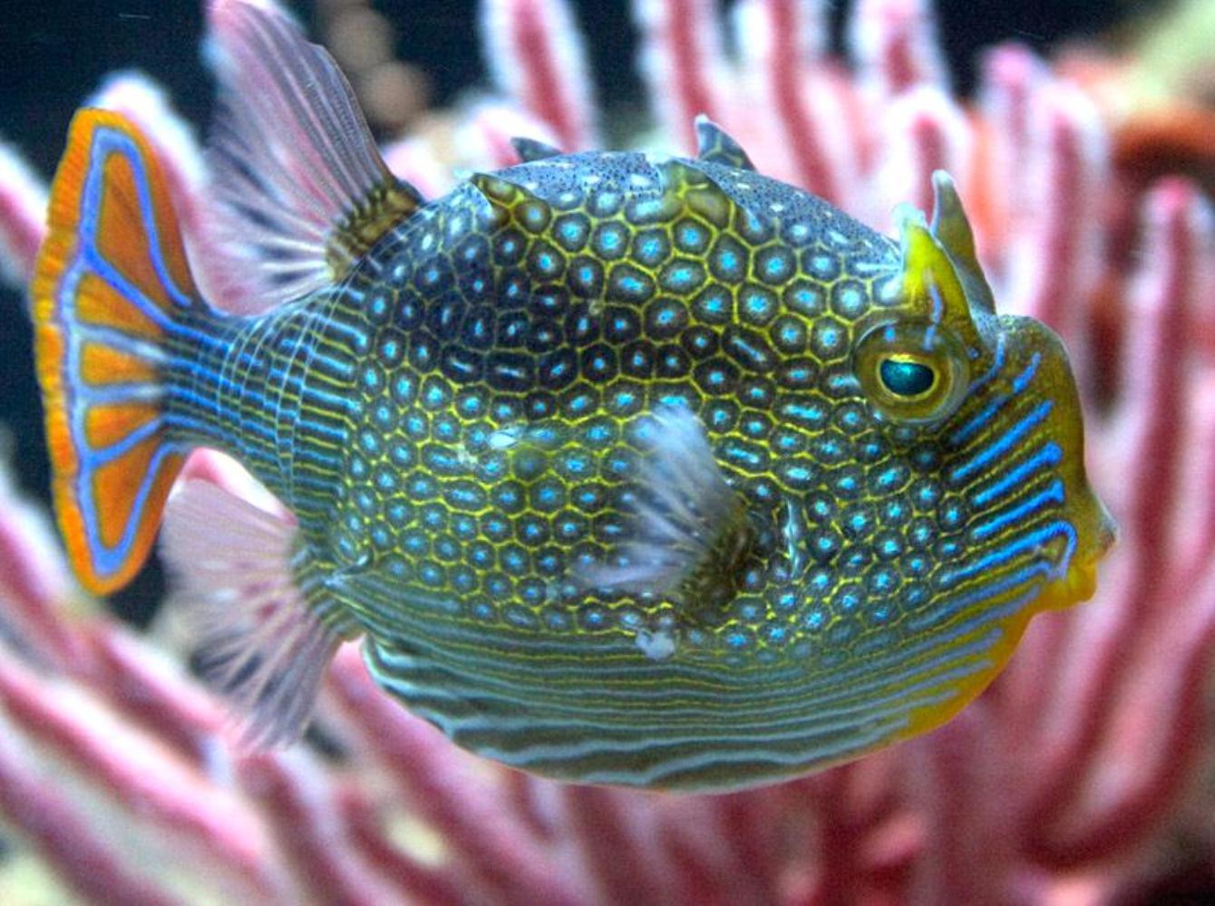 Ornate Cowfish