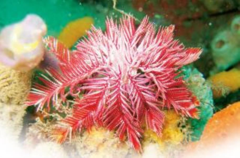 Passion Flower Feather Star
