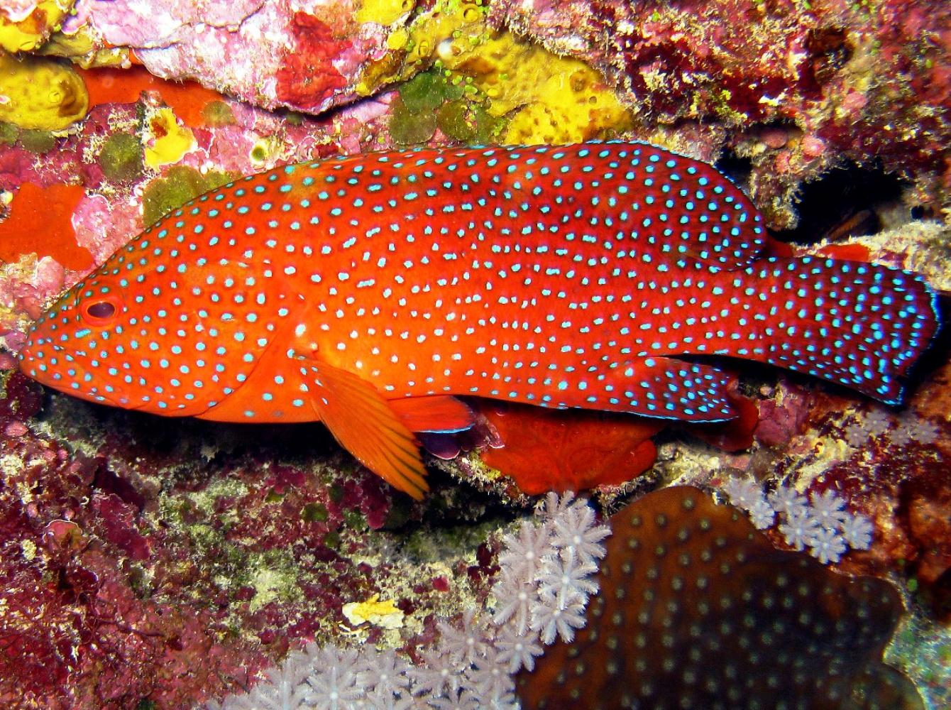 Peacock Rockcod