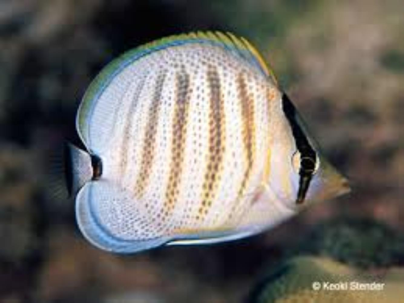 Pebbled Butterflyfish