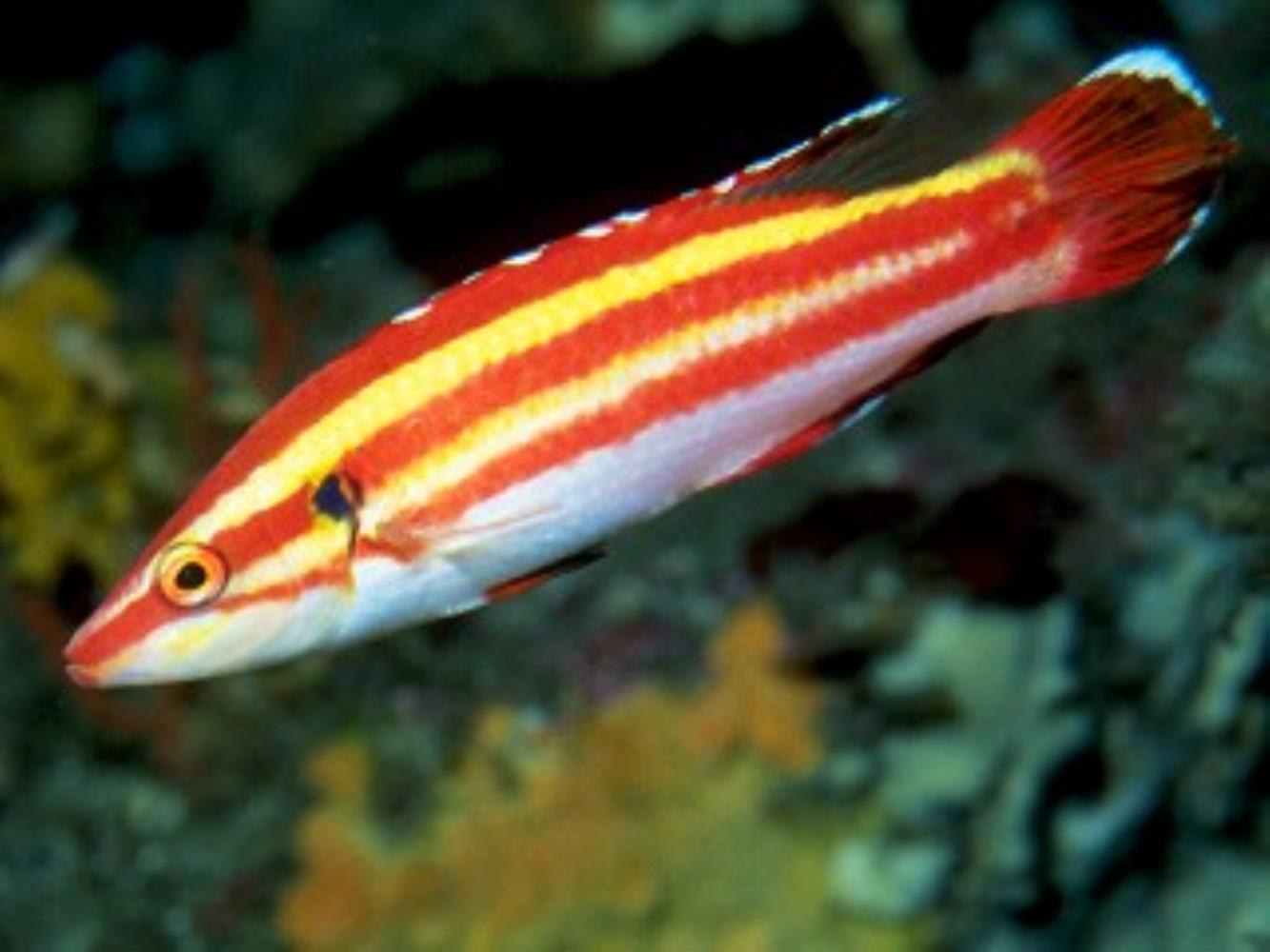 Peppermint Hogfish