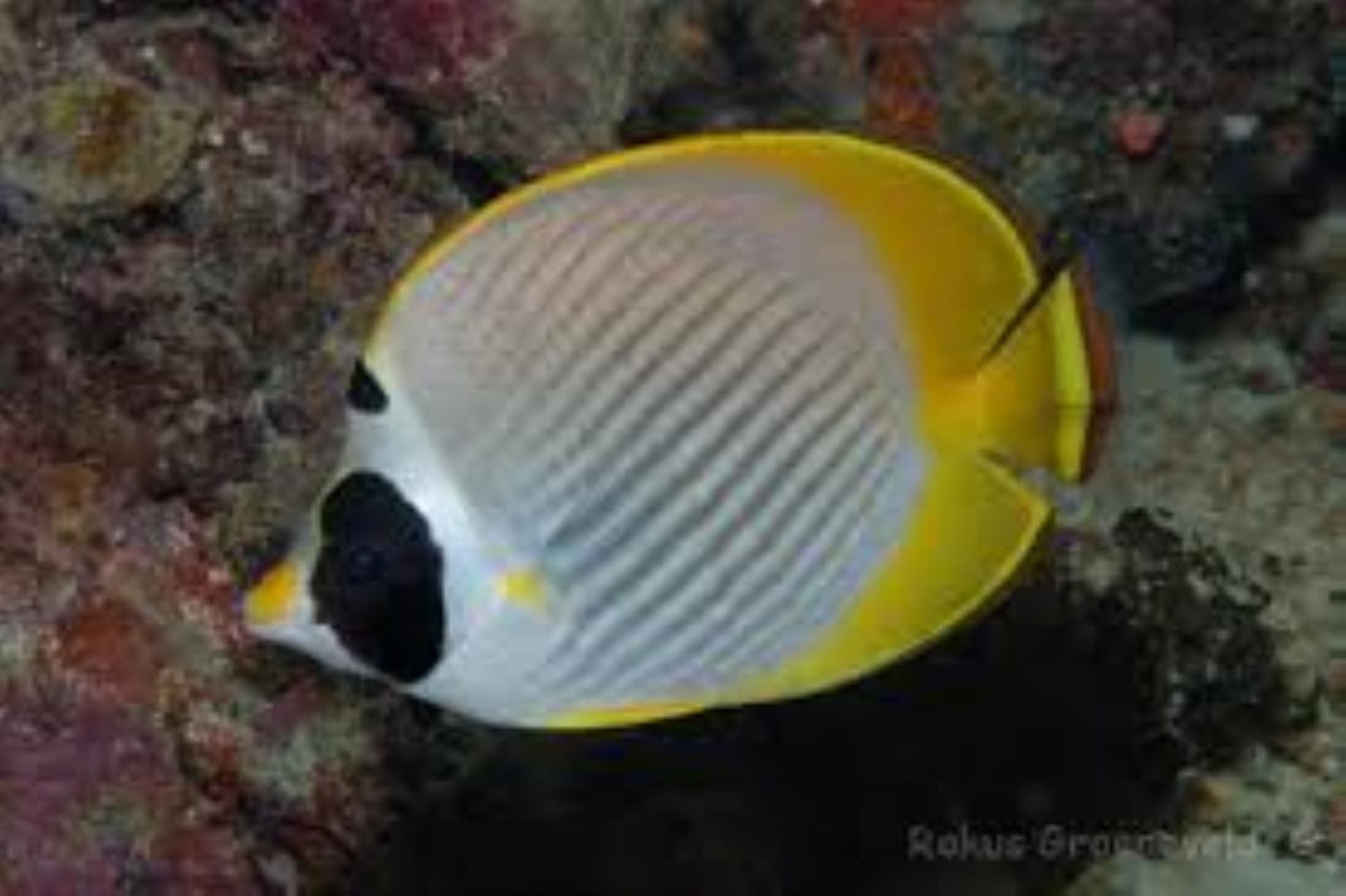 Philippine Butterflyfish