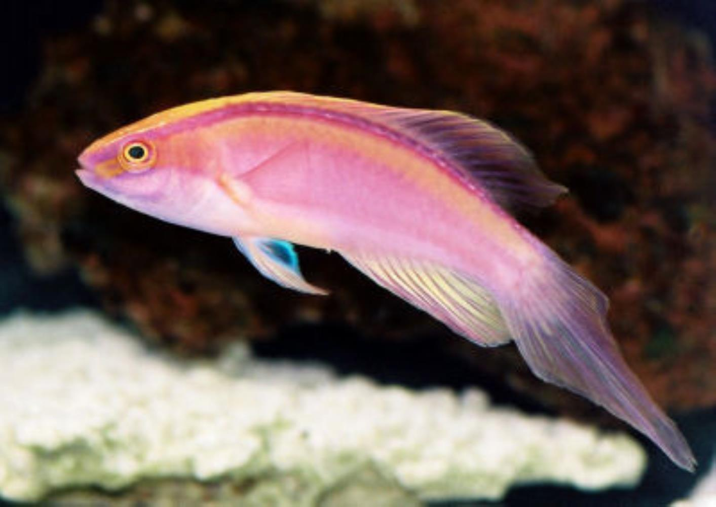 Pink-banded Fairy Wrasse