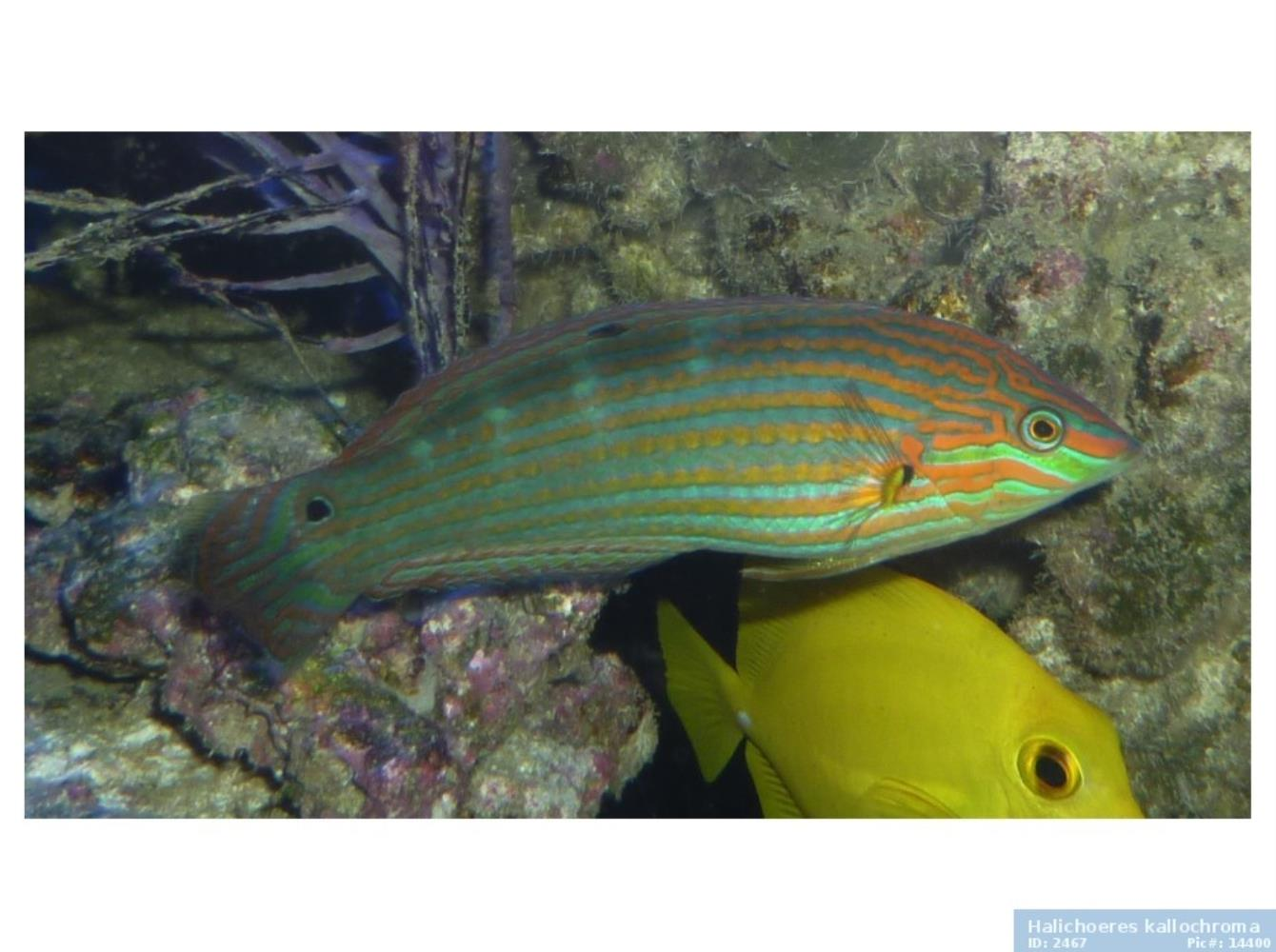 Pink-snouted Wrasse