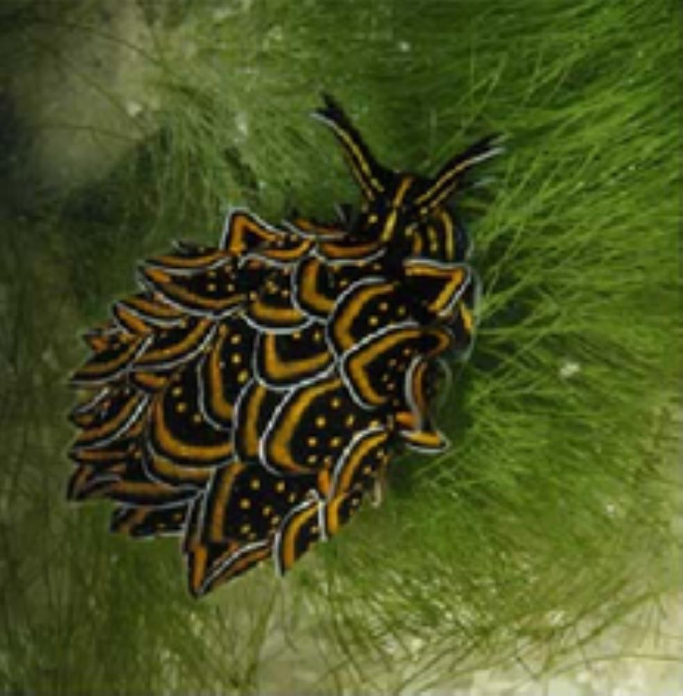 Polybranchid
