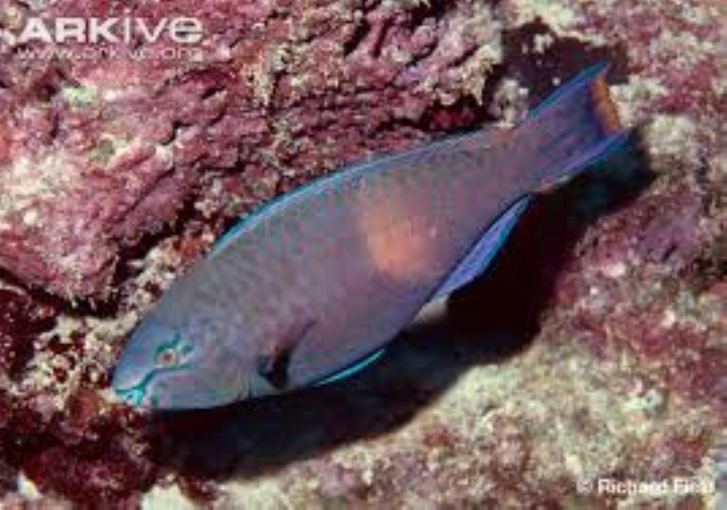 Purple-brown Parrotfish