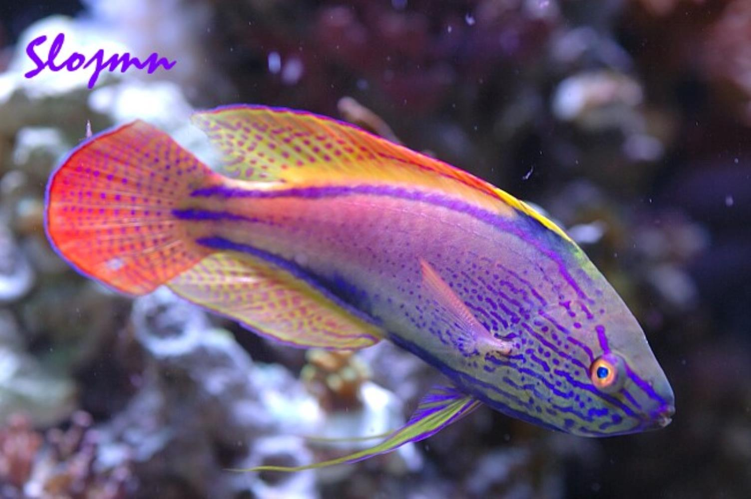Purplelined Fairy Wrasse