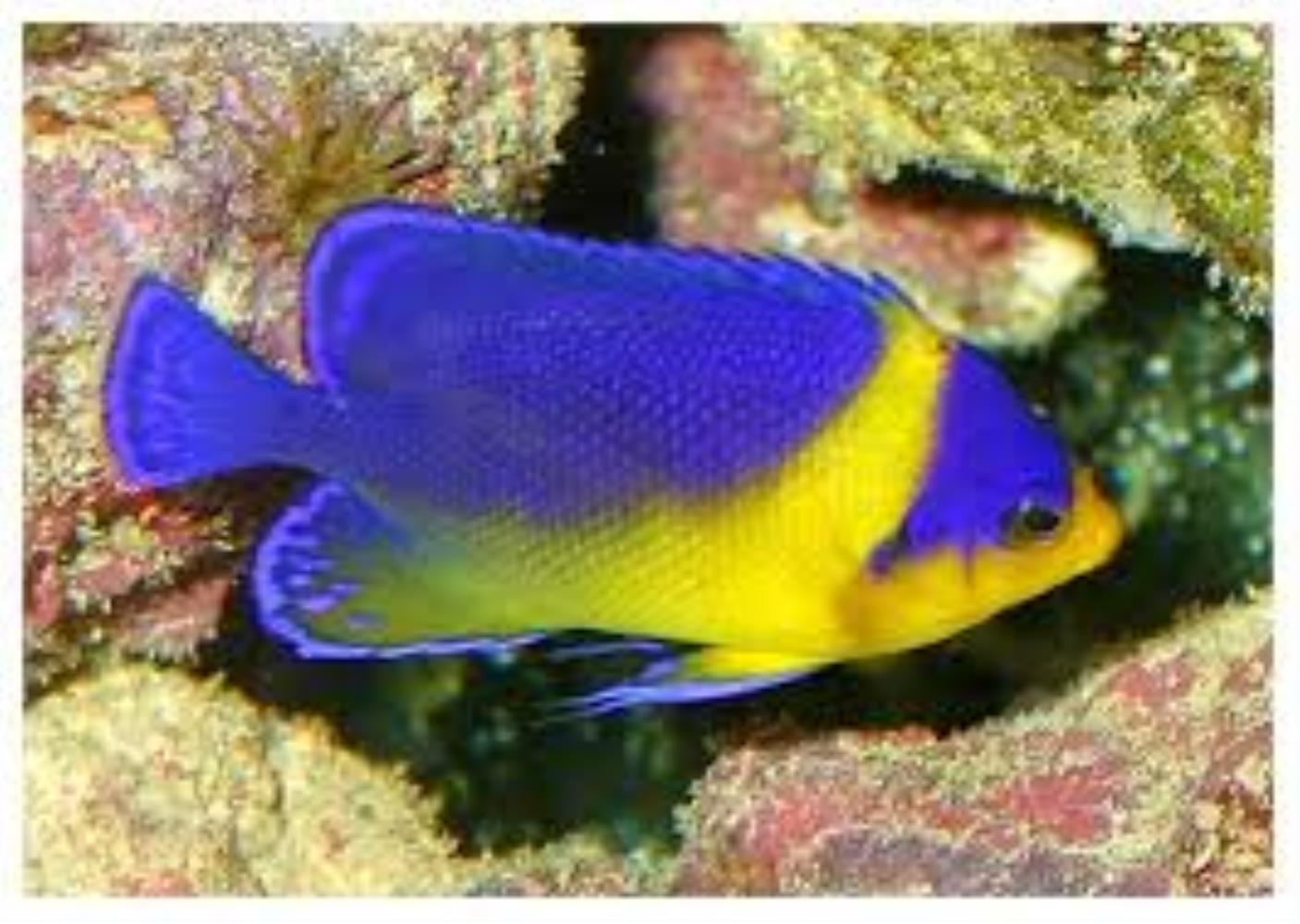 Purplemask Angelfish
