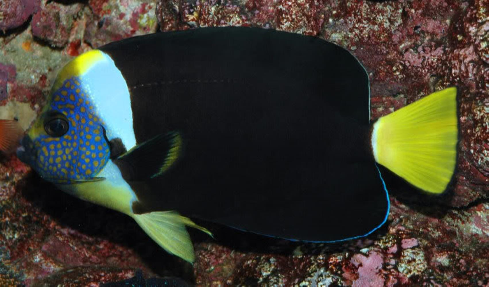 Queensland Yellowtail Angelfish