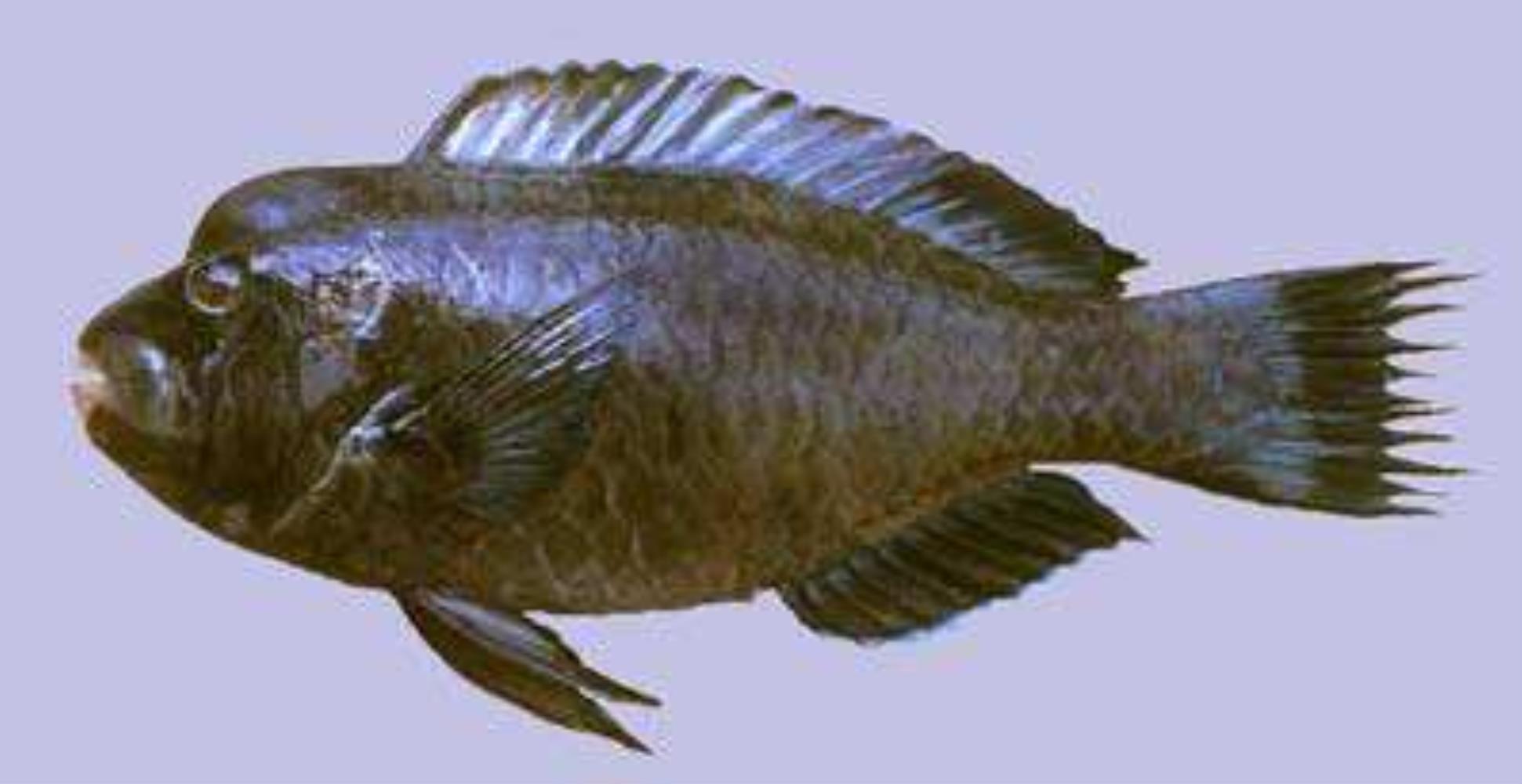Raggedfin Parrotfish